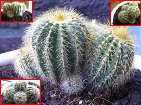 ID cactus