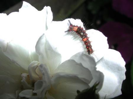 larven op klimrozen