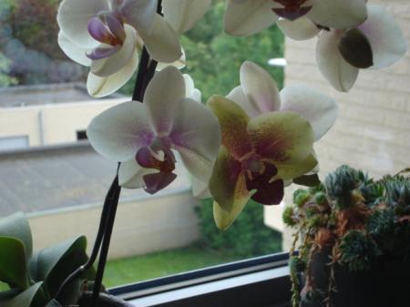 Kleur bloem phalaenopsis