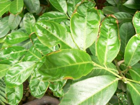bladeren vervormen