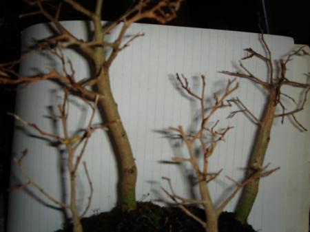 ficus of brandhout