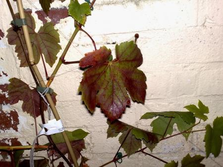 Druivenblad wordt rood