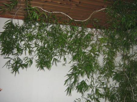 Wie kent deze kamerplant?
