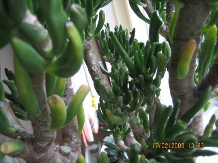 Advies?! Mijn succulent(boompje) krijgt zacht blad