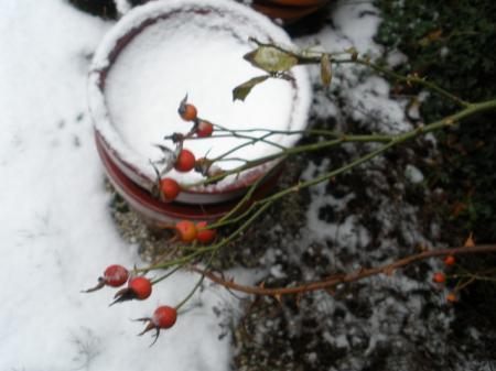 Waarneer deze rozen snoeien?