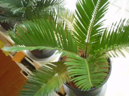 Cycas Revolta wordt bruin
