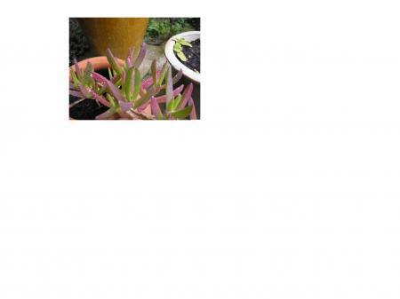 Weet iemand wat voor een vetplant dit is?