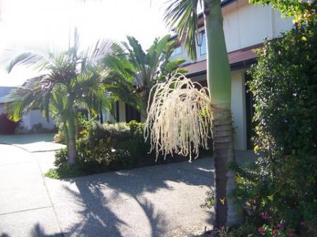 bangalor palm