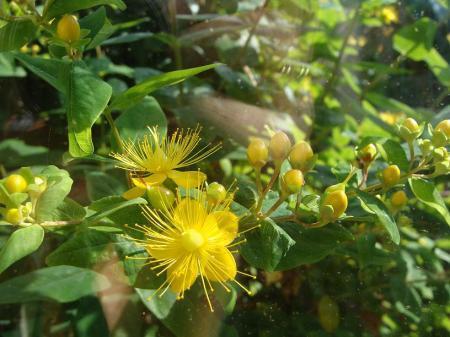 Struik met gele bolletjes / knoppen / bloemen.