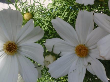 De naam van deze witte bloem