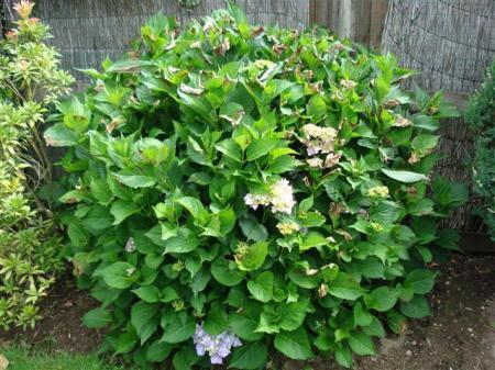 Bloemen onder het blad Hortensia