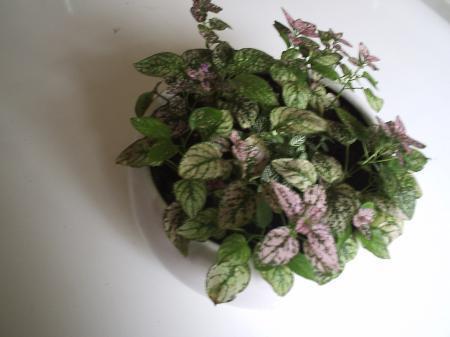 Naam plantje? /Hypoestes phyllostachya