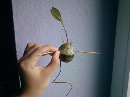 is mijn avocadokiem groot genoeg om te planten?