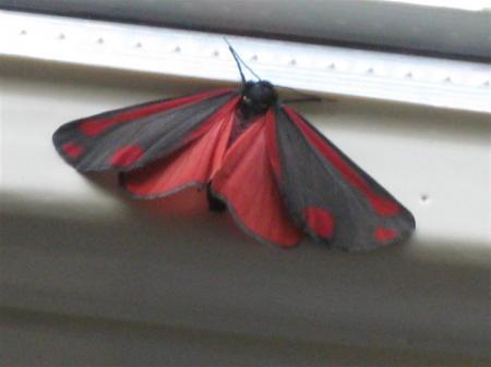 hoe heet deze vlinder??