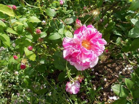 naam van deze roos