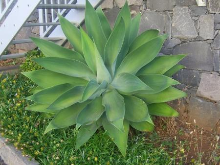 agave gefotografeerd op Madeira