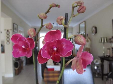Nieuwe Orchidee.