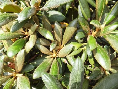 ziekte rhododendron