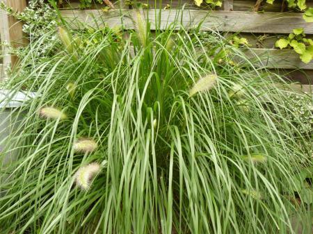 Vermeerderen van een grassoort
