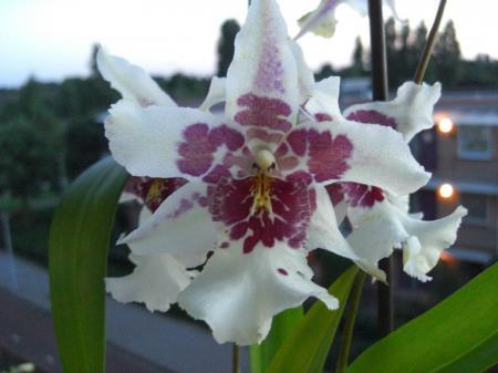 Weer een orchidee aan het bloemen