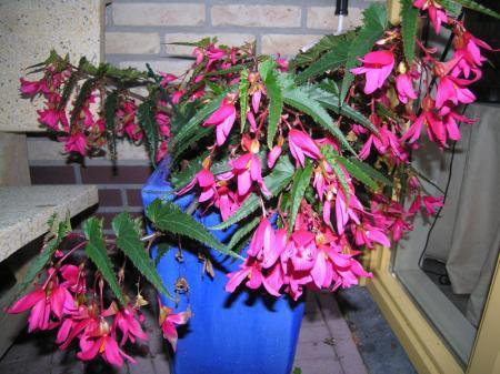 Begonia hybride overhouden?