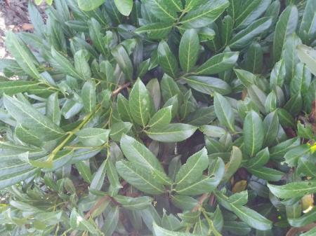 Welke Prunus Laurocerasus is dit?