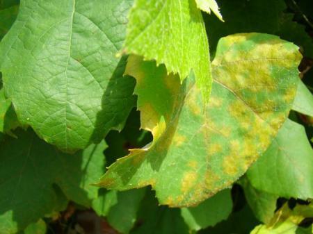 Deze druiven nu ook