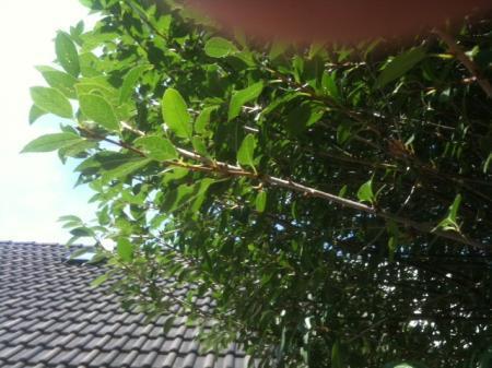 Wat is dit voor een boom (2)