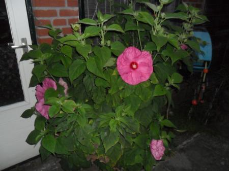 Hibiscus Southern Bell