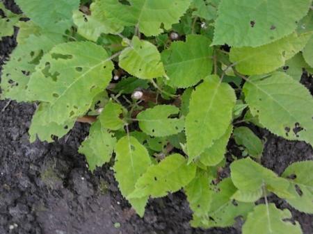 Hortensia Annabelle aangevreten bladeren