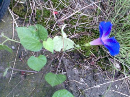 welke plant is dit: slingerplant met blauwe bloem?