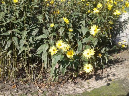 Welke gele bloem is dit?
