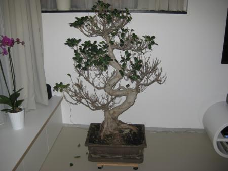 HELP! Mijn bonsai verliest heel veel bladeren