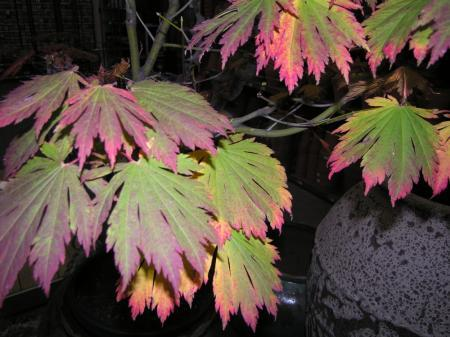 Acer japonicum variëteit?