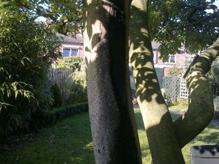 Barst in Magnoliastam