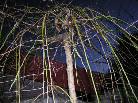 Taksterfte bij Sophora japonica 'Pendula'