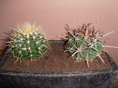Soort cactus.