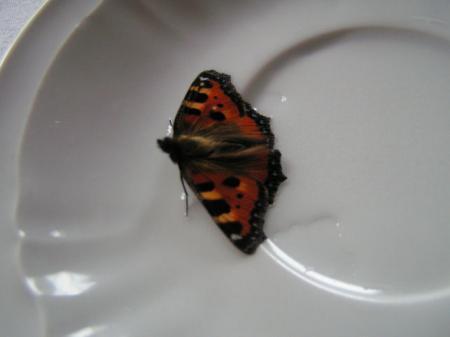 Vlinder uit winterslaap. Nu fladdert hij contstant