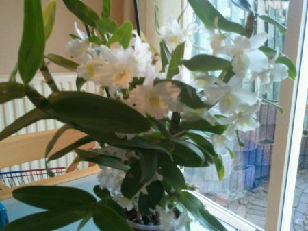 verwilderde dendrobium nobile en phal. keiki