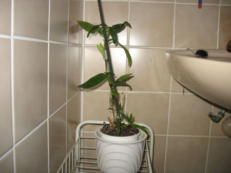 Dendrobium Nobile gaat bloeien