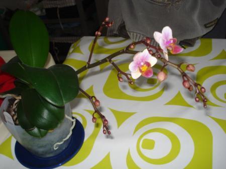 phalaenopsis opent bloemen, eindelijk