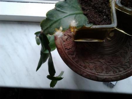 naam epiphyllum