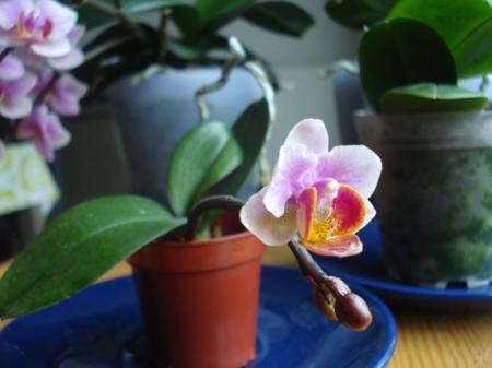 mijn eerste keiki voor het eerst in bloei