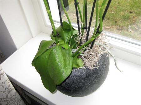 bladeren van een orchidee