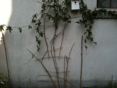 Passiflora dood?