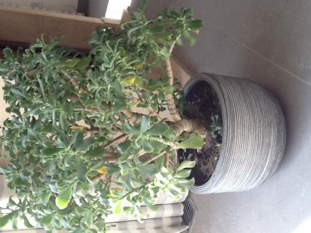 Plant soort crassula