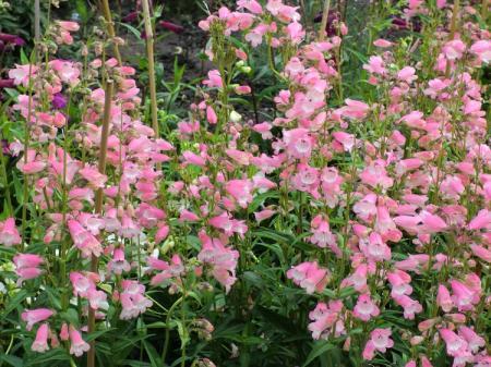 roze bloeiende planten