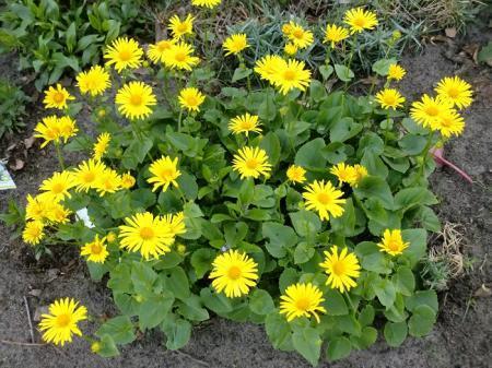 wie kent deze gele vaste plant (bloeit nu)