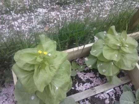 Wie weet welke groentenplant dit is?