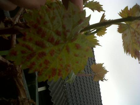 druivenblad verkleurd raar